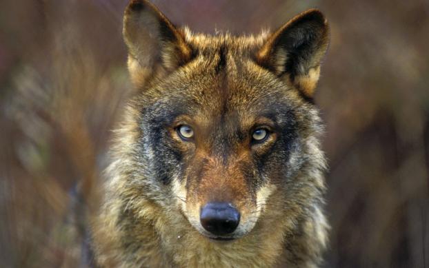 Avistar lobos Sierra de la Culebra